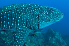 Whale shark in Richelieu Rock, North Andaman,. Thailand Royalty Free Stock Photography