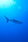Whale shark. L and snorkeler in Maldives Royalty Free Stock Images