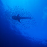 Whale Shark Silhouette Stock Photo