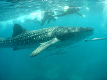 Whale shark with snorkelers. Maldives, Indian Ocean stock photo