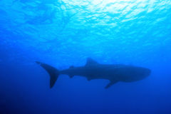 Whale Shark and Snorkelers. Whale Shark (Rhincodon Typus) and Snorkeler Silhouettes against the Surface from Below, South Ari Atoll, Maldives Royalty Free Stock Image