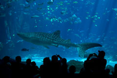 Whale Shark Spectators at The Aquarium Stock Images
