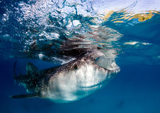 Whale shark at the surface stock images
