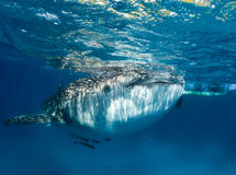 Whale shark at the surface stock image