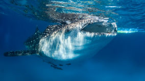 Whale shark at the surface Royalty Free Stock Images