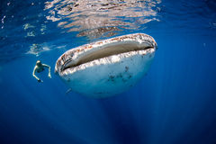 Whale Shark and swimmer. Royalty Free Stock Photos