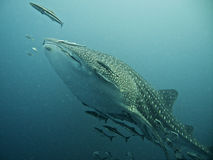 Whale shark swimming in blue water. Surrounded by fish in South China sea, Thailand stock photo