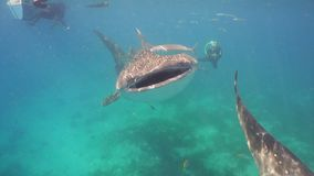Whale Shark in ocean. Whale Shark swimming in the clear blue water. Rhincodon typus. Whale shark underwater. Philippines, Oslob.. Wonderful and beautiful stock photo