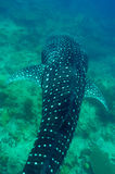 Whale Shark swimming in crystal clear blue waters at Maldives. Whale Shark (Rhincodon typus) swimming in crystal clear blue waters at Maldives stock photography
