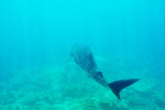 Whale Shark swimming  in crystal clear blue waters at Maldives Royalty Free Stock Photo