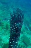 Whale Shark swimming in crystal clear blue waters at Maldives. Whale Shark (Rhincodon typus) swimming in crystal clear blue waters at Maldives stock photos
