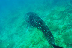 Whale Shark swimming in crystal clear blue waters at Maldives. Whale Shark (Rhincodon typus) swimming in crystal clear blue waters at Maldives royalty free stock photo