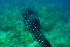 Whale Shark swimming in crystal clear blue waters at Maldives. Whale Shark (Rhincodon typus) swimming in crystal clear blue waters at Maldives stock photo