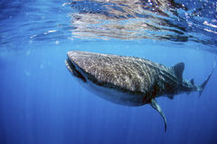 Whale shark. Swimming in crystal clear ocean water stock photos