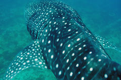 Free Whale Shark Swimming  In Crystal Clear Blue Waters At Maldives Stock Photography - 39582602