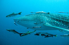 Whale Shark swimming by. Whale shark swims through the ocean Stock Images
