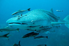 Whale Shark swimming to the camera. Whale shark swims towards the camera with remoras Royalty Free Stock Photos