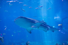 Whale shark swimming Royalty Free Stock Photography