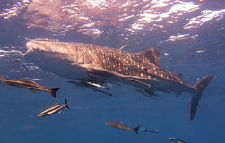 Whale Shark swims near the surface. Whale shark swimming close to the ocean surface Royalty Free Stock Photos