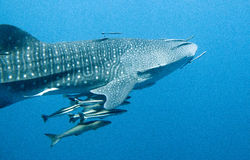 Whale Shark swims by. Whale shark swimming passed the camera Royalty Free Stock Photos