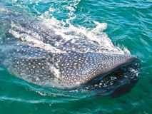 Whale shark. Top of a Whale shark in mexico sea water Stock Photography