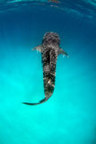 Whale shark on turquoise water stock images