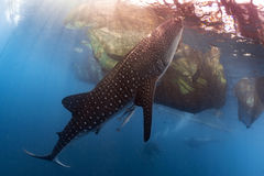 Whale Shark underwater approaching a fishing net. While eating plancton and small fishes royalty free stock photo