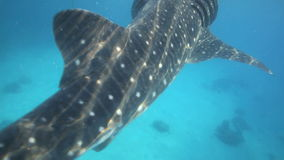 Whale shark underwater being fed krill Royalty Free Stock Image