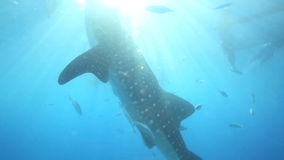 Whale shark underwater being fed krill Stock Photography