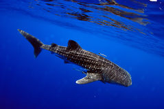 Whale shark underwater picture. Stock Photo