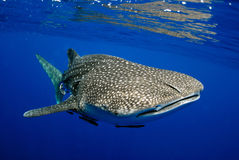 Whale shark underwater picture. Royalty Free Stock Photos
