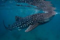Whale shark. Underwater shoot of a gigantic whale shark ( Rhincodon typus) feeding near surface royalty free stock photos