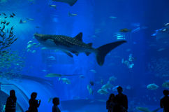 Whale Shark Watching. Okinawa, Japan on December 7, 2013 - People watching the whale shark among other fishes at the Churaumi Aquarium in Okinawa, Japan. Photo Stock Photo