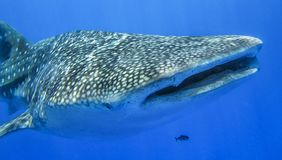 Whale shark royalty free stock image