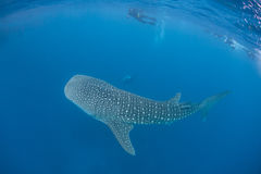 Whale Shark 2 Stock Photo