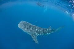 Whale Shark 2 stock photo