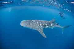 Whale Shark 3. A young Whale shark (Rhincodon typus) cruises near the surface of the Caribbean Sea. This massive shark feeds on plankton and is found in tropical stock image