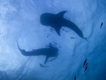 Whale sharks Royalty Free Stock Images