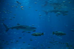 Whale Sharks Stock Image