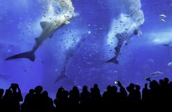 Whale sharks being fed in an aquarium royalty free stock images