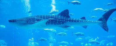Whale sharks swimming in aquarium. With people observing stock photography