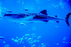 Whale sharks swimming in aquarium Royalty Free Stock Photos