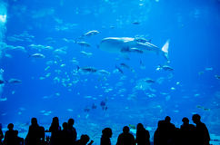 Whale sharks swimming in aquarium. With people observing stock image