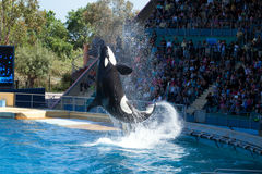 Whale Show. Attractive Jump of Killer Whale - Show in Marineland, Nicé, France Royalty Free Stock Image