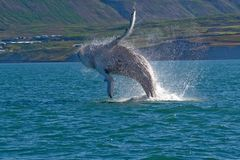 Whale Show. Near Husavik City in Iceland Stock Image