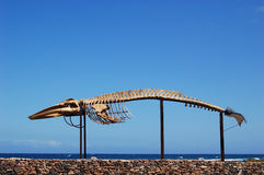 Whale skeleton Stock Photo