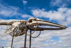 Whale skeleton Royalty Free Stock Photo