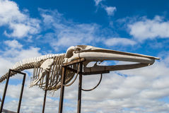 Whale skeleton Stock Images