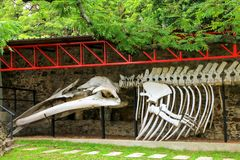 Whale skeleton on display at Paleontology museum in Colonia del. Sacramento, Uruguay. It is one of the oldest towns in Uruguay royalty free stock photo