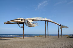 Whale skeleton in Fuerteventura Spain. Whale skeleton in Caleta de Fuste, Fuerteventura Spain stock photo